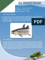 Truite fario - Fiche péda Eau & Rivières de Bretagne
