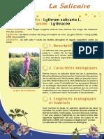 Salicaire - Fiche péda Eau & Rivières de Bretagne