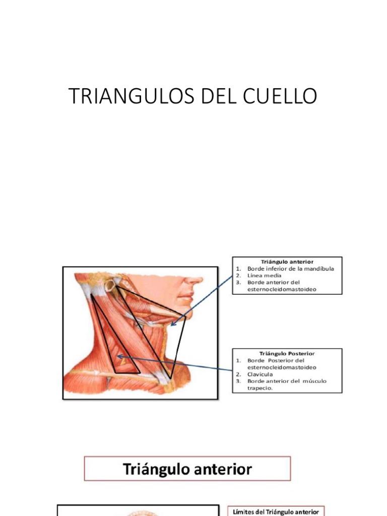 Anatomia - Triangulos Del Cuello