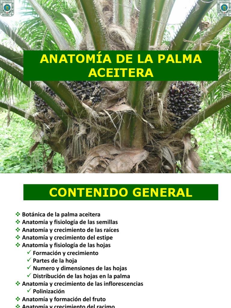 Excelente Palma Anatomía Fotos Foto - Anatomía de Las Imágenesdel ...