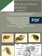 ANATOMIA DE LA PULGA DE AGUA.pptx