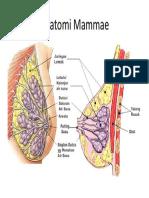 Anatomi Mammae