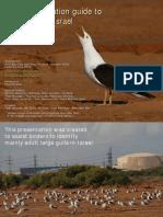 israel large gulls fast identification guide