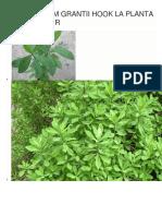 Synadenium Grantii Hook La Planta Anti