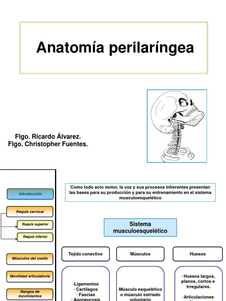 Anatomía Perilaríngea Tarde