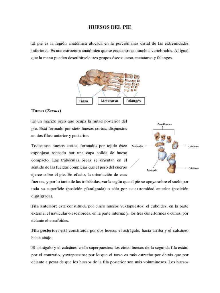 Anatomía Huesos Del Pie