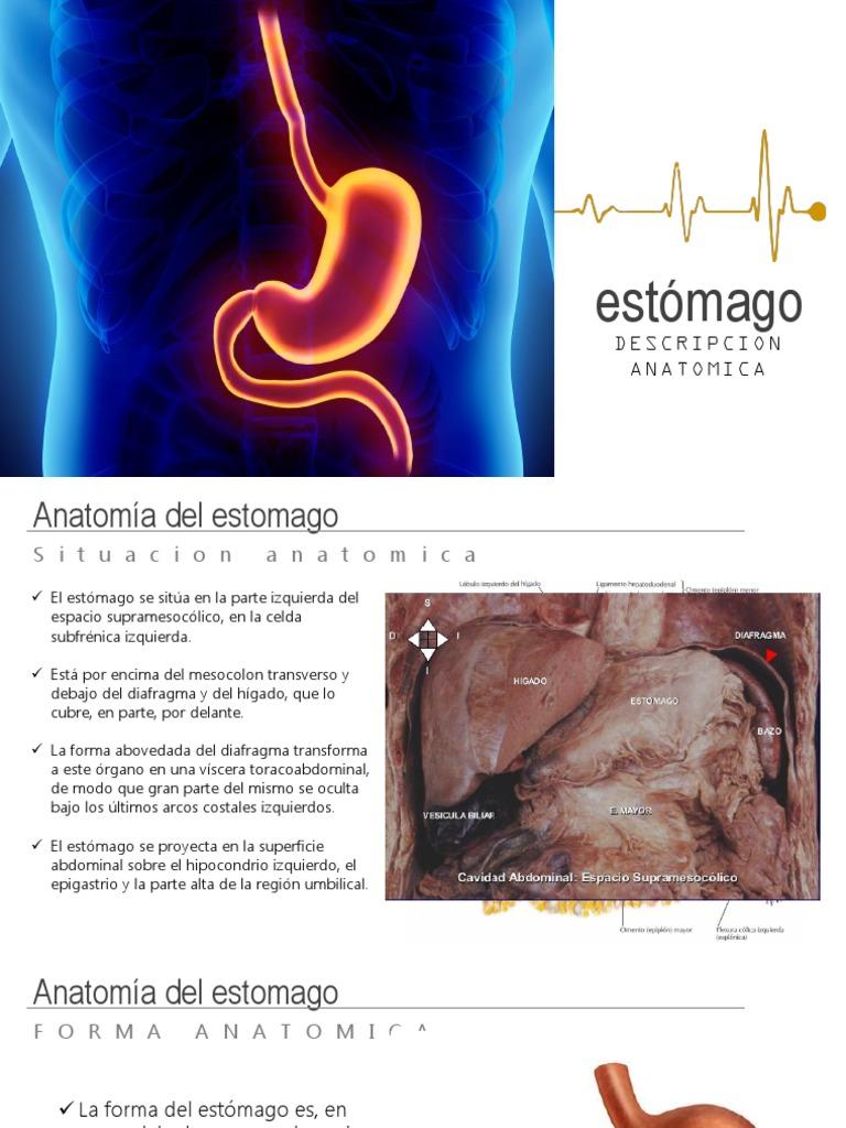 Estomago Antomia II