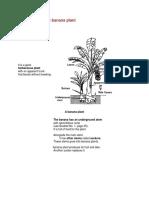 Description of the Banana Plant