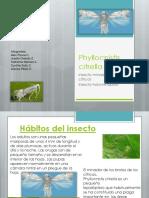 phyllocnistis citrella2
