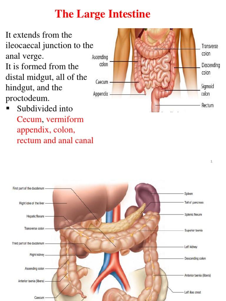 Large Intestine Large Intestine Rectum