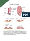 Cardiovascular System.docx (2)