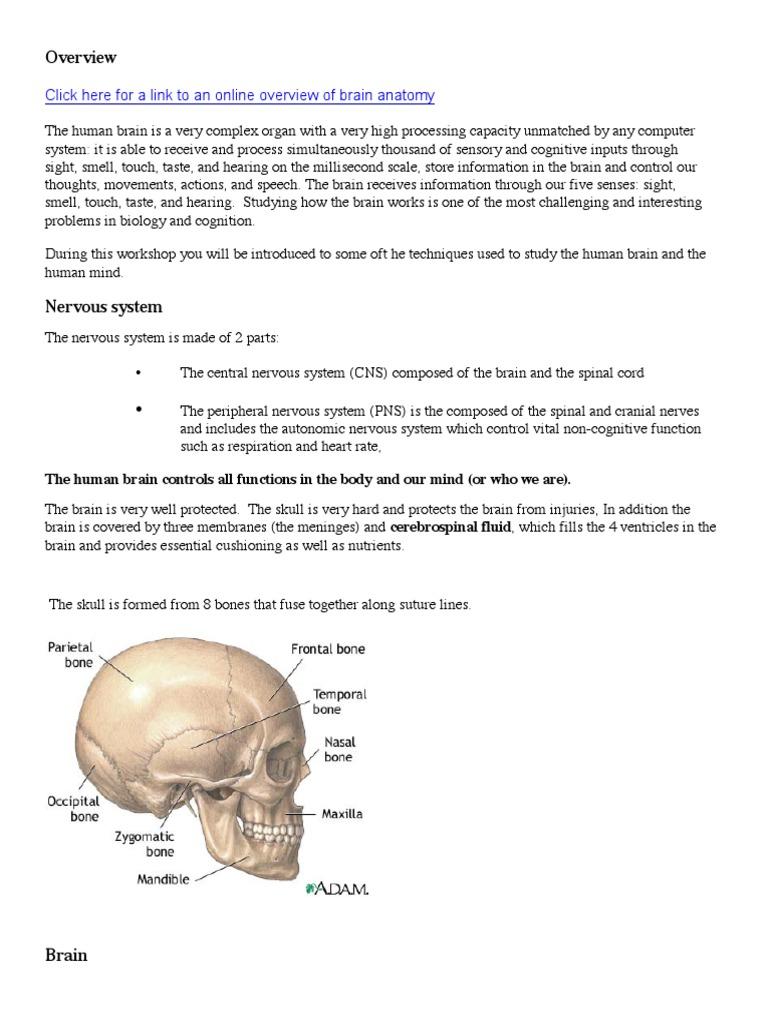 Brain Anatomy OverviewRev.pdf | Cerebrospinal Fluid | Brain
