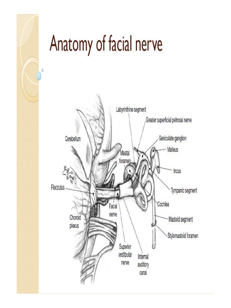 Anatomy of facial nerve new.pdf | Anatomy | Primate Anatomy