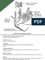 Astragalus ampullarius ~ Utah Rare Plants
