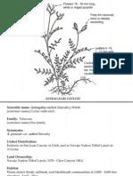 Astragalus cutleri ~ Utah Rare Plants