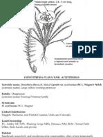 Oenothera flava ~ Utah Rare Plants