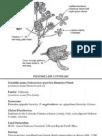 Pediomelum epipsilum ~ Utah Rare Plants
