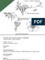 Potentilla angelliae ~ Utah Rare Plants
