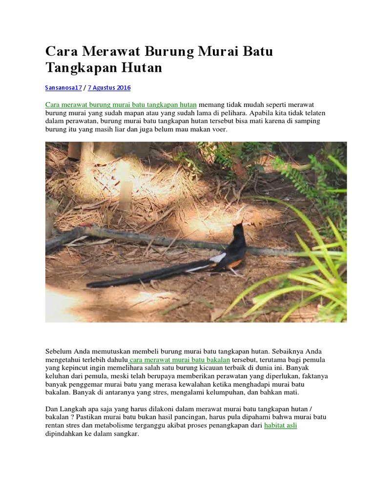 Cara Merawat Burung Murai Batu Tangkapan Hutan
