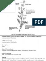 Salvia columbariae ~ Utah Rare Plants