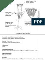 Senecio castoreus ~ Utah Rare Plants