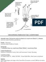 Thelesperma pubescens var. caespitosum ~ Utah Rare Plants