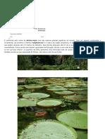Vitória-régia - Plantas - InfoEscola