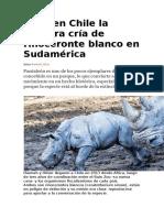 Nace en Chile La Primera Cría de Rinoceronte Blanco en Sudamérica
