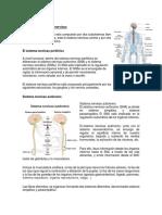 Estructura Del Sistema Nervioso