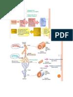 Circulación sanguinea y linfatica.docx