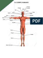 Partes del Cuerpo Humano Cuerpo