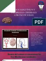 vasos sanguineos y membranas cerebrales circulo de willis