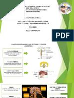 ANATOMIA SISTEMA REPRODUCTIVO EN ANIMALES DOMESTICOS.pdf