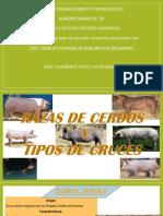 Razas de Porcinos