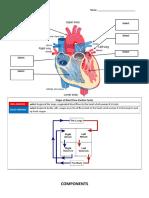 Worksheet - Circulatory System