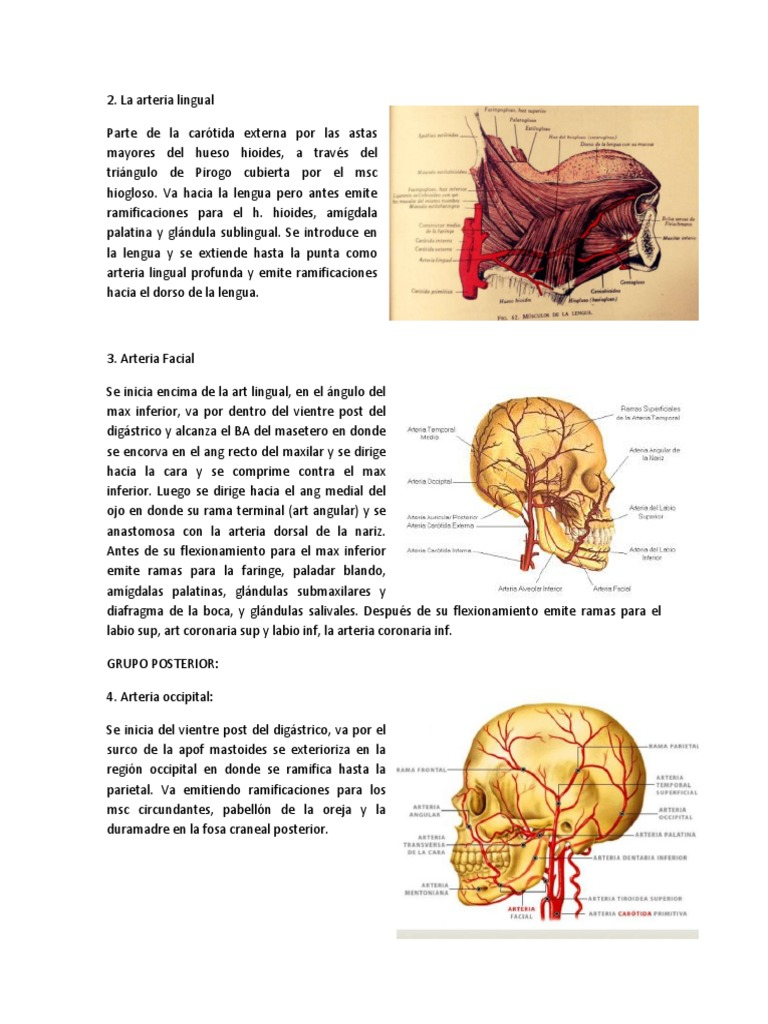 Arteria Lingual