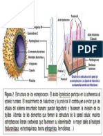 Estructura Del Estreptococo