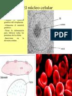 el-nucleo-celular