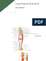 Músculos Del Grupo Posterior de La Pierna
