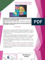 Relación armónica de los órganos de los sentidos.pptx