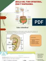 Desarrollo Del Tubo Intestinal, Páncreas y Diafragma