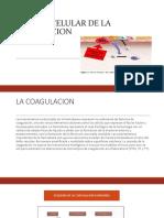 Modelo Celular de La Coagulacion
