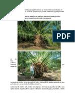 Informe Practica cultivo palma