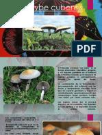 Psilocybe-cubensis