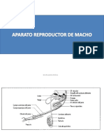 Clase 5- Reproductor Macho