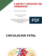 Circulacion Antes y Despues Del Embarazo