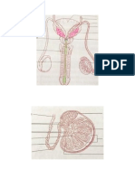 Organe Masculine