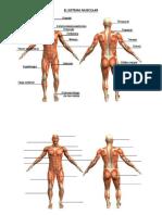 El Sistema Muscular2
