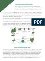 260629161-Ciclo-Reproductivo-de-Los-Helechos.pdf