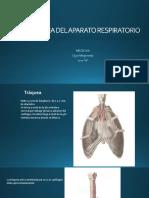 Anatomia Del Aparato Respiratorio